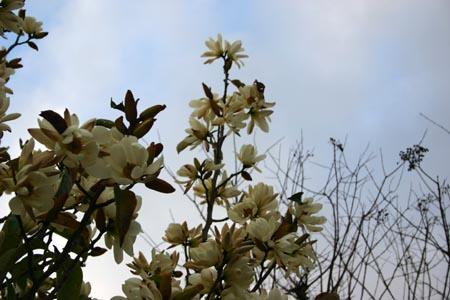 02_magnolias1